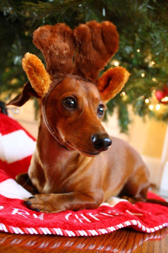 Reindeer Doxie :)