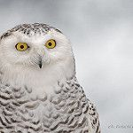Harfang des Neiges / Snowy Owl / Bubo scandiacus / Ukpik by FRITSCHI PHOTOGRAPHY
