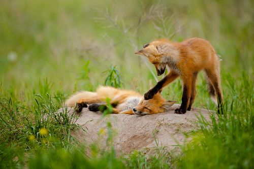 foxograph: Red Foxes (by p.l.dove): Pldove, Red Pandas, Funky Foxes, Kits Foxes, Nonbird Animal, Wake Up, Plays, Red Foxes, Foxes Friends
