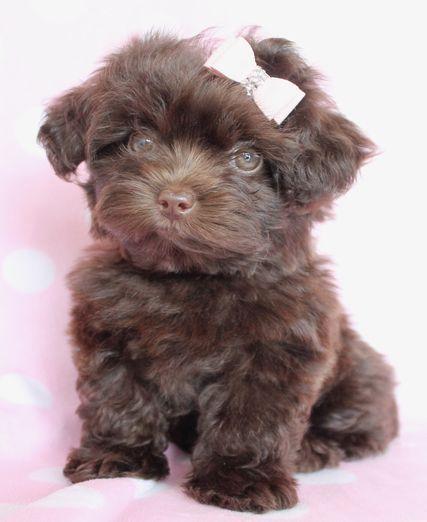 yorkie poodle mix poodle mix breeds Pinterest