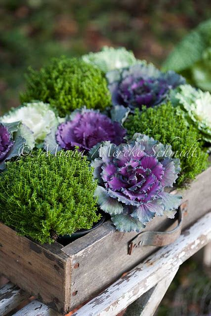 cabbages; perfect for an organic feel.: Autumn Box, Ideas, Container Garden, Color, Cabbages, Boxes, Flower