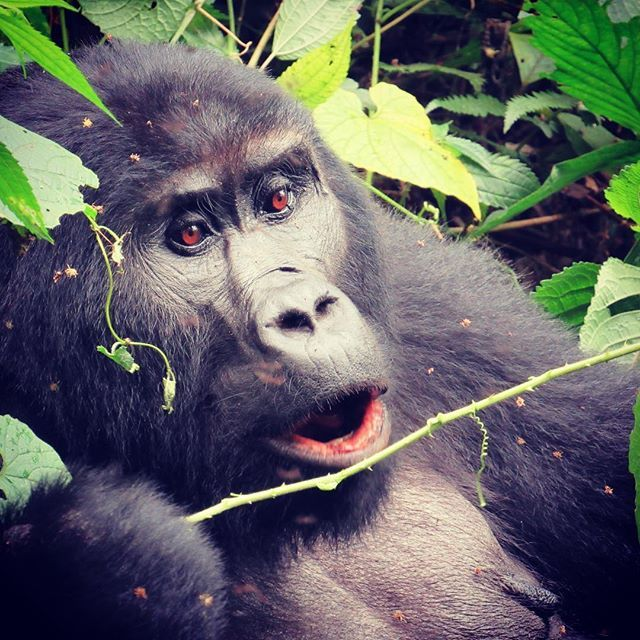 I finally got my pictures off my camera! This is one of my favorites! #gorillas #uganda #mountaingorillas #africa #thisisafrica #explore #adventure #wanderlust