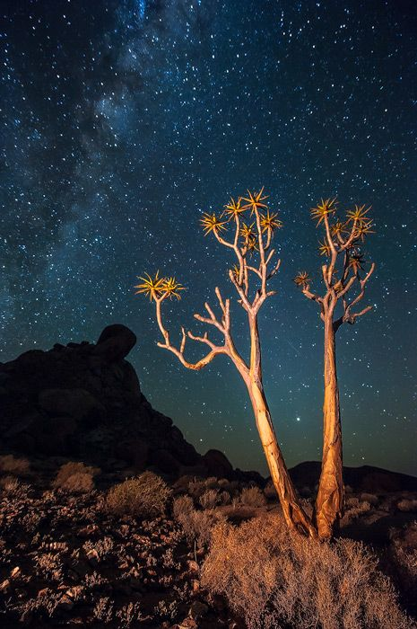 Kokerboom And Stars Richtersveld National Park, Northern Cape, South Africa