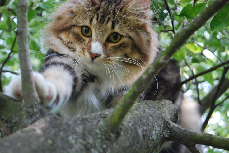Lora <3 A norvég erdei macska képes fejjel lefelé lejönni a fáról! :)