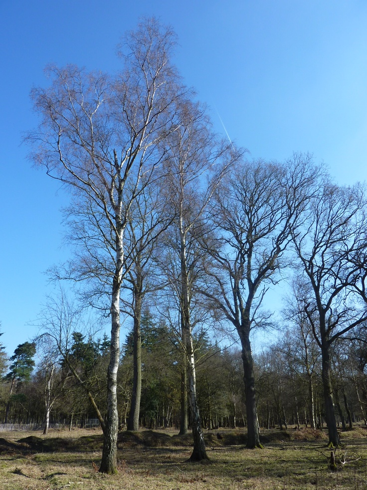Sliver birches on a winter's day #hampshire