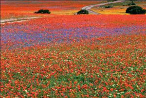 Definitely not what I think of when I think of deserts..  This is Namaqualand in Africa, which is a semi-desert area.. but in the spring, gorgeous, vividly colorful flowers spring to life!