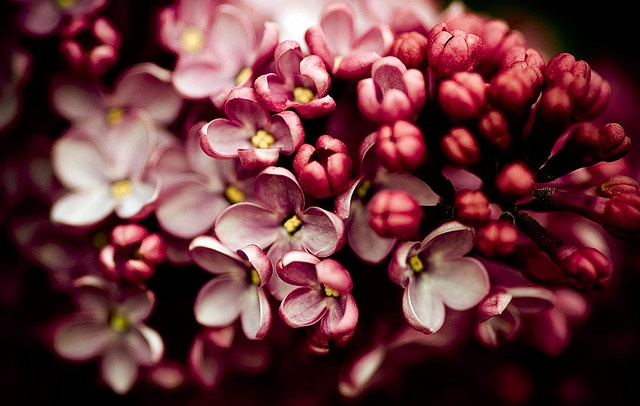 lilacs will always have a special place in my heart...: Photo