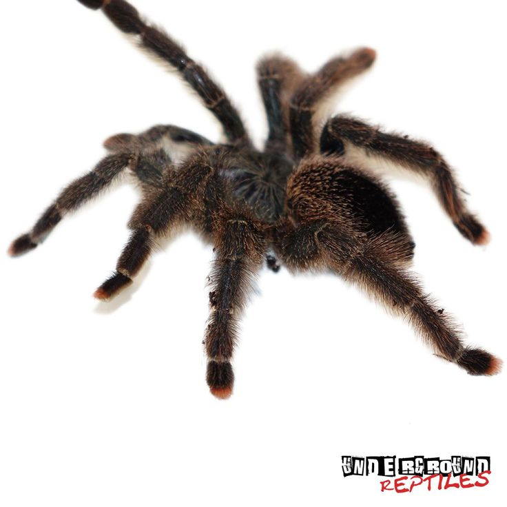 Exotic Metallic Pinktoe Tarantulas for sale at the lowest prices only at Underground Reptiles. Ship Priority Overnight. Live Arrival Guarantee!