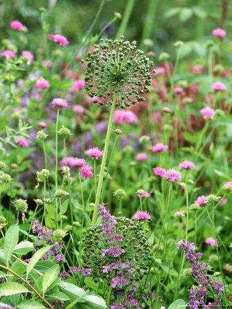 Allium Hollandicum Seed Heads and Knautia Arvensis (Field Scabious)