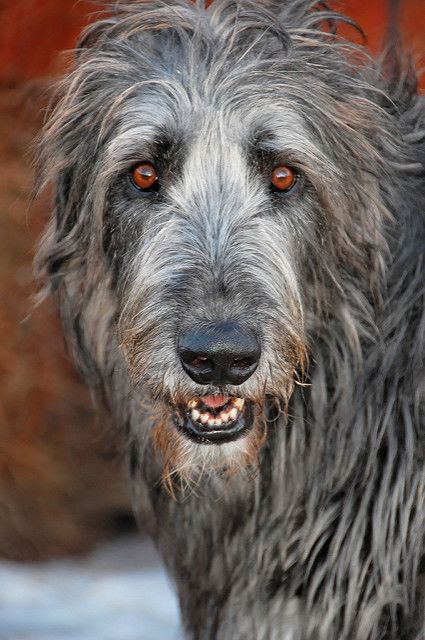 Irish Wolfhound named Aodhan (pronounced Aiden) | Flickr - Photo Sharing!