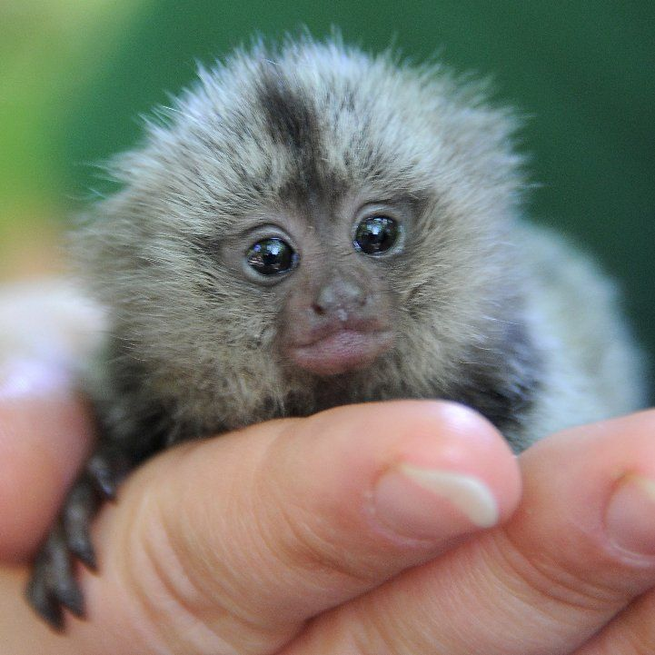 A newborn marmoset gets a hand from zookeepers in his first few hours of life. Description from popsugar.com. I searched for this on bing.com/images