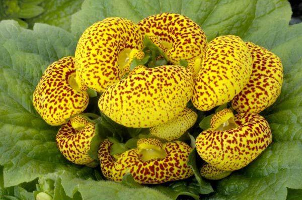 Pantoffelblume: Die Pflanze gedeiht am besten an hellen, kühlen Standorten, darf aber nicht der direkten Sonne ausgesetzt sein. (Quelle: imago/blickwinkel)