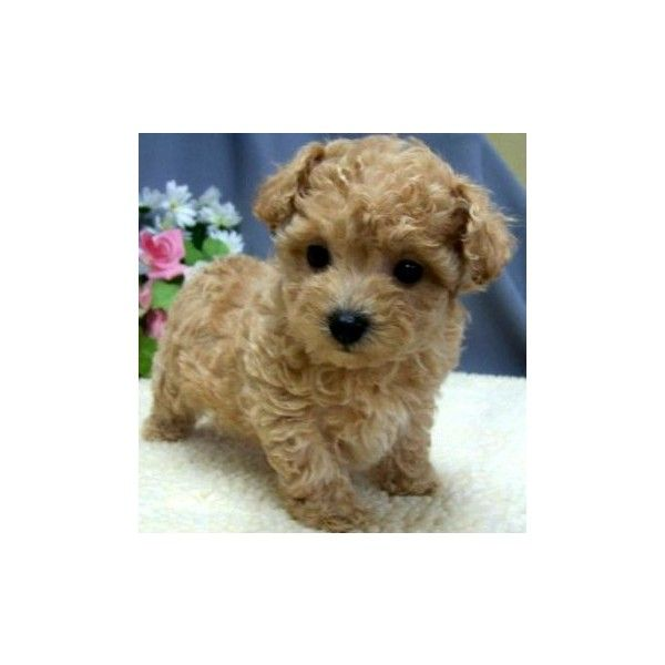 Tiny Toy Dogs : Best images about poodles shoodles and cavoodles on