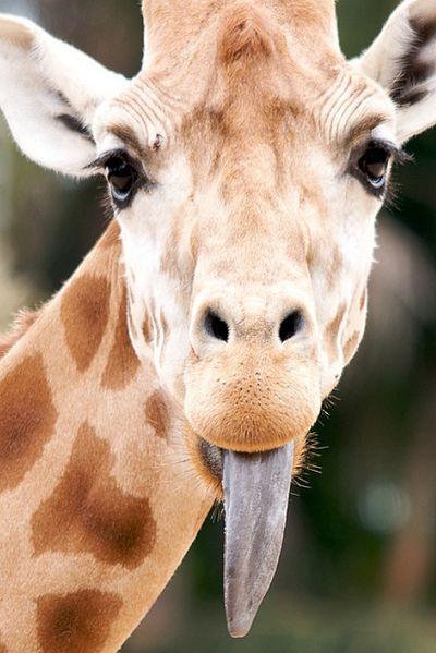 Cute giraffe sticking out its tongue