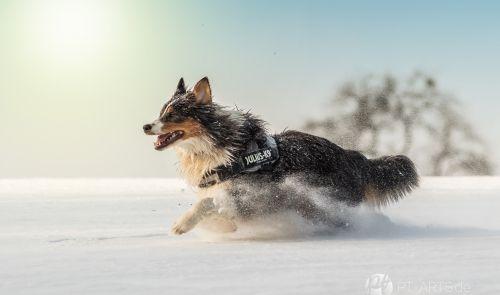 Australian Shepard im Schnee Hundefotografie Petra Tänze