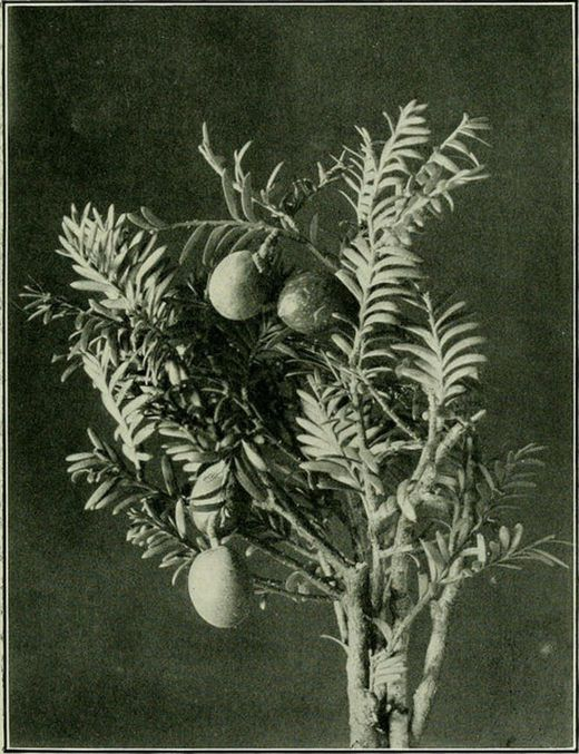 """Image from page 82 of """"Plants of New Zealand"""" (1906) - Internet ArchiveLibocedpus doniana (The Kaivaka). A lofty pine, 60-100 feet high, believed at first to be a Dacrydiuni. Itsfoliage in the young stage somewhat resembles a fern."""
