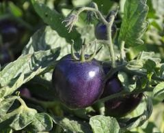 """""""If you want a really, really purple tomato that can be as black as an eggplant, give Indigo Rose a try,"""" Myers said. """"Other so-called purple and black tomatoes have the green flesh gene, which prevents normal chlorophyll breakdown. A brown pigment called pheophytin accumulates and has a brownish color that makes a muddy purple when combined with carotenoids.""""Purple Tomatoes, Health Benefits, Gardens, Seeds, Growing, Oregon States Universe, High Level, Rose Tomatoes, Indigo Rose"""