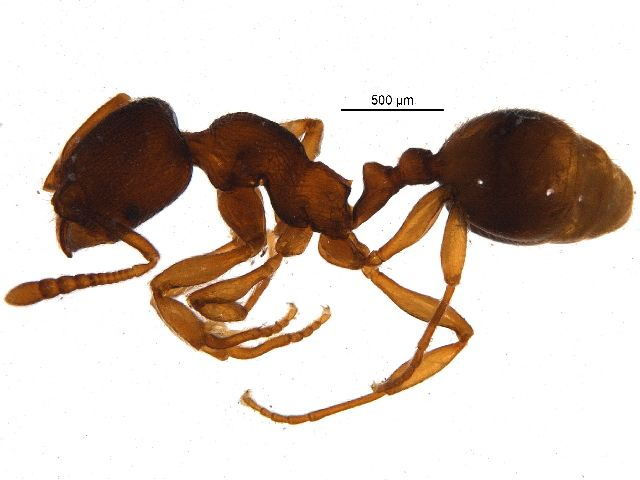 Ant (Stenamma sp.) collected in Rouge National Urban Park, Ontario, Canada, and photographed at the Centre for Biodiversity Genomics (sample ID: BIOUG12661-F08; specimen record: http://www.boldsystems.org/index.php/Public_RecordView?processid=SSROA2204-14; BIN: http://www.boldsystems.org/index.php/Public_BarcodeCluster?clusteruri=BOLD:ACN8345)