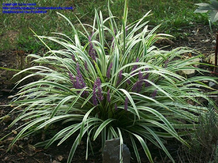 Lily turf full size picture of variegated lily turf for Variegated grass plant