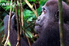 Kala character study.  This site has several gorilla videos.  Western lowland gorilla feeding © BBC Natural History Unit & Scorer Associates