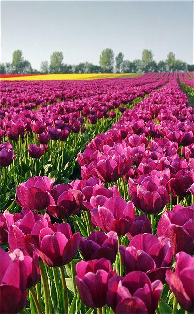 Campo de tulipanes en Magdeburg, Alemania