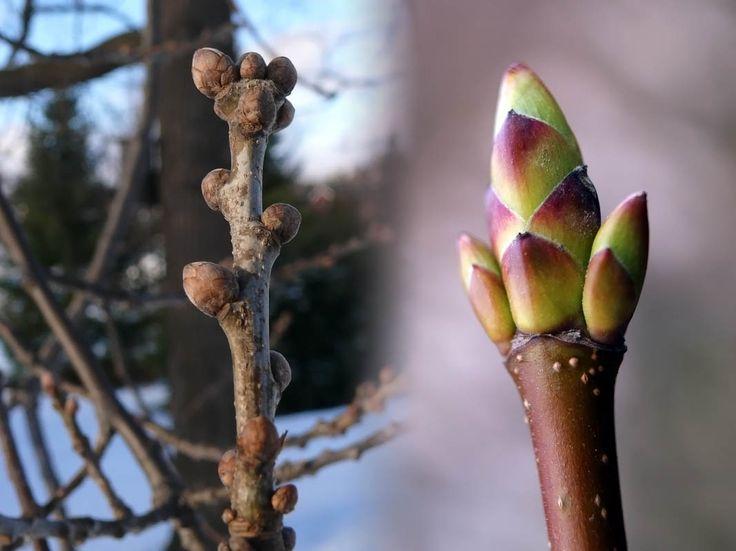 Tammi, Quercus robur - Puut ja pensaat - LuontoPortti