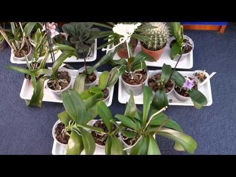 В видео идет речь о: как различить гнилые корни от здоровых у орхидеи фаленопсис, пересадка орхидеи фаленопсис, как правильно пересадить орхидею фаленопсис, ...
