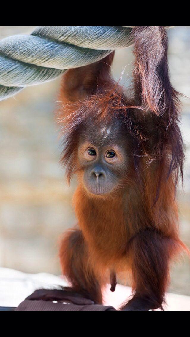 Baby orangutan cute