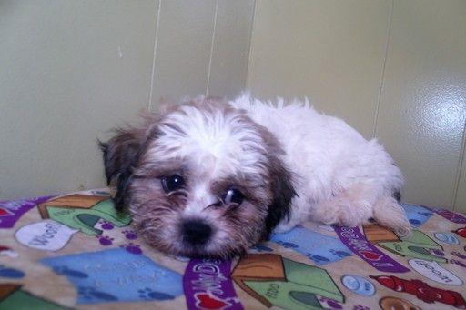 Zuchon puppy for sale in PATERSON, NJ. ADN-49214 on PuppyFinder.com Gender: Female. Age: 8 Weeks Old