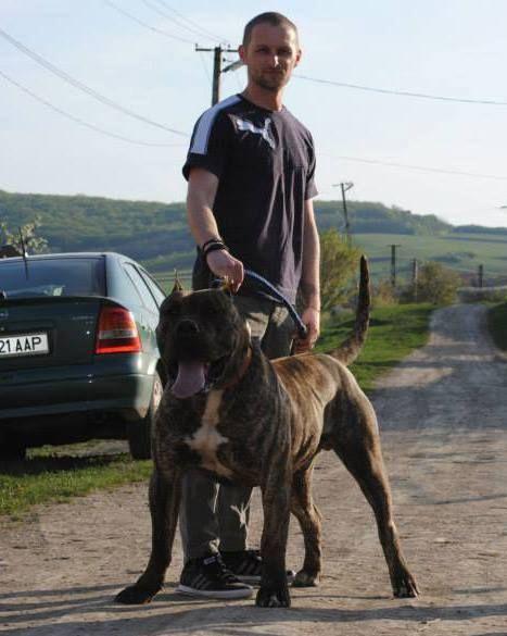Dogo Canario Dog Breed