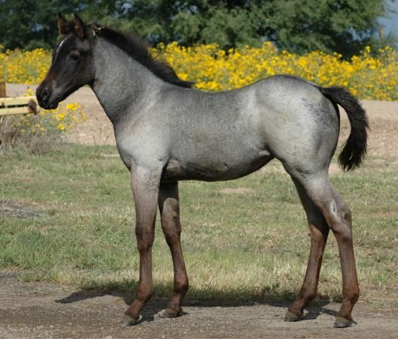 Robin's Nest Farms / BlueRoans.com features the best AQHA foundation bred quarter horses in the World!
