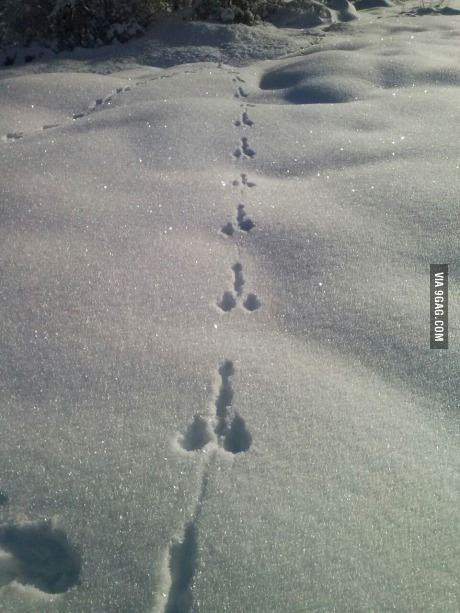 Just rabbit footprints in the snow, in France