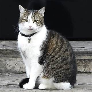 Larry the 10 Downing Street Cat - 7/12/16: Official 10 Downing Street Mouser stays  Wednesday as Prime Minister David Cameron moves out. The brown and white tabby is deemed to be a government worker and will continue to live at the famous address even after his boss packs his bags, officials said. Larry is the latest in a line of felines tasked with keeping Downing Street free of rodents. He arrived in 2011 from the London's Battersea Dogs and Cats Home for rescued animals.