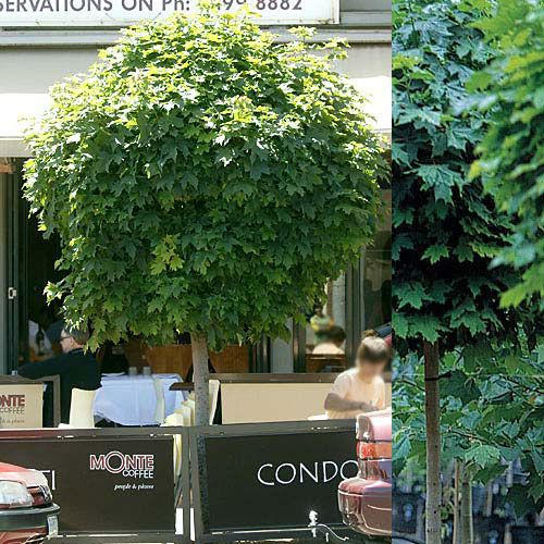 Designer tm maple acer platanoides 39 globosum 39 a great for Maple trees for small gardens