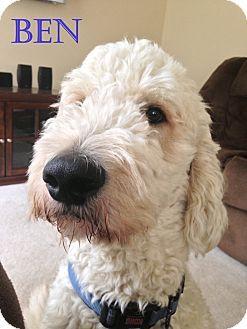 New Jersey, NJ - Goldendoodle/Poodle (Standard) Mix. Meet Jackson NJ - Benny a Dog for Adoption.