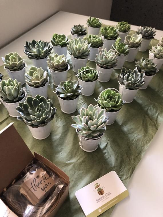 12 Succulent Wedding Favors Spring Wedding Etsy Wedding Favors Fall Succulent Wedding Favors Succulent Party Favors