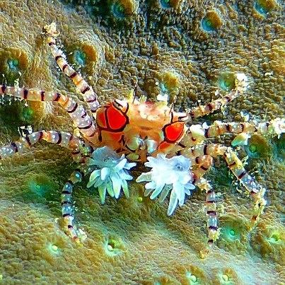 Pom pom crab (Lybia Tesselatta)