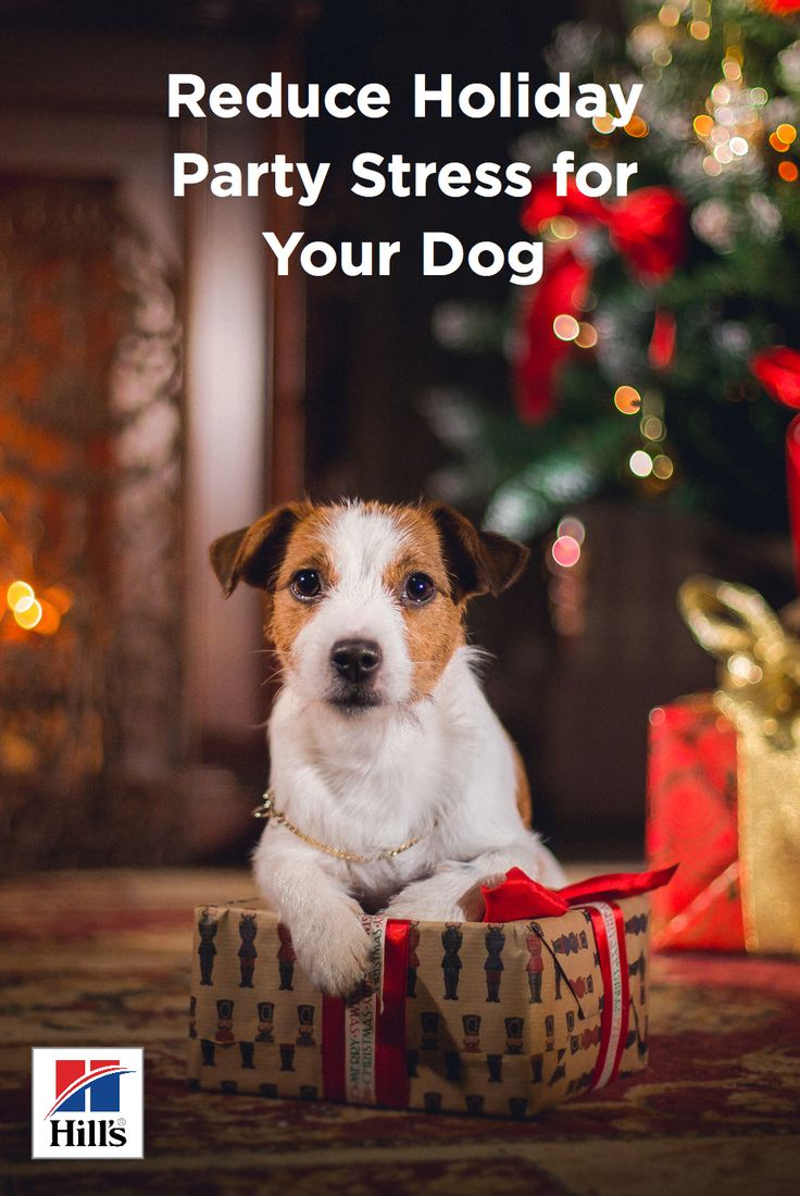 The holiday season is here and everyone is getting ready for big celebrations and family gatherings. While it's an exciting time for you, it can be stressful for your dog. Most pet parents take dog socialization seriously, but a raucous party can worry even the friendliest dogs. Celebrating holidays with dogs requires a little extra management to ensure your pup is safe, well-behaved, and happy. Preparing your dog for a large group of people is important and should not be overlooked.