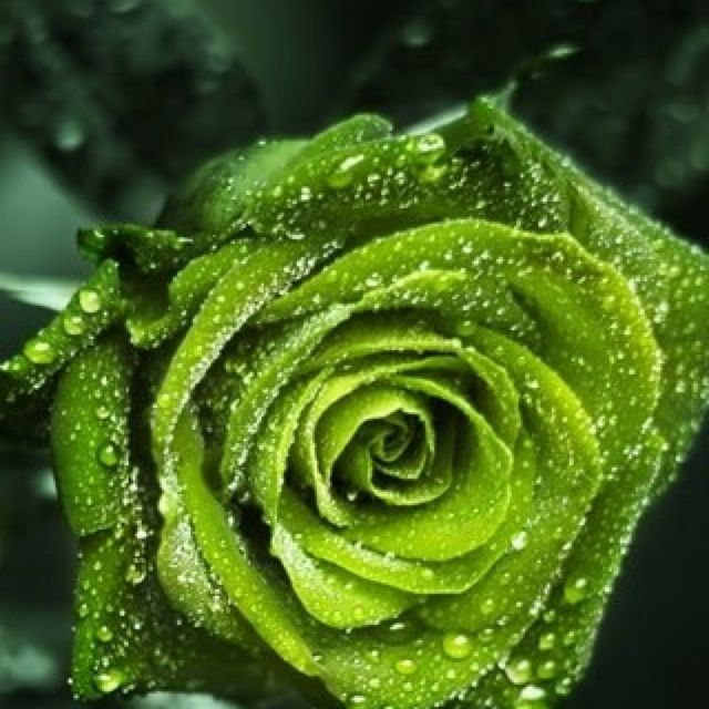 35 best ld products go green images on pinterest for Green colour rose images