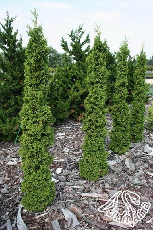 22 best tall and slender evergreen trees images on for Tall evergreen shrubs