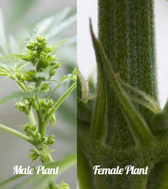 difference between male and female marijuana plant
