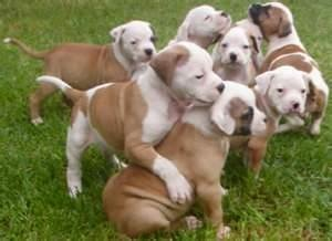 Image Search Results for johnson american bulldogs
