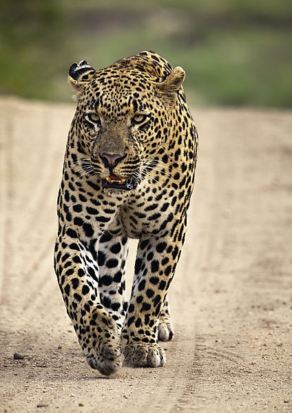 Leopard hunting--preferably archery, but these are the most dangerous of the Big Five......