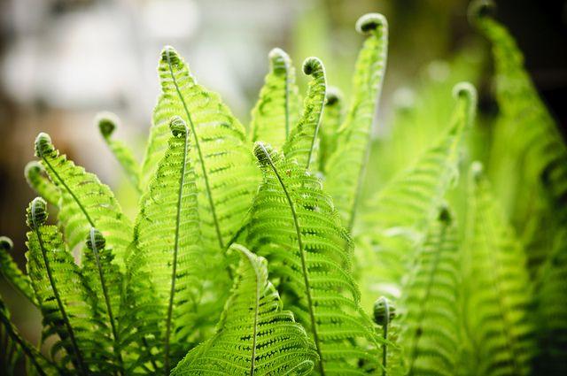 149 Best Ferns Images On Pinterest Ferns Nature And Botanical