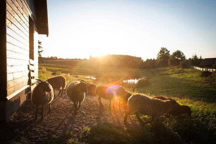stadko naszych owieczek Lato 2014 fot. http://kubasikorski.pl