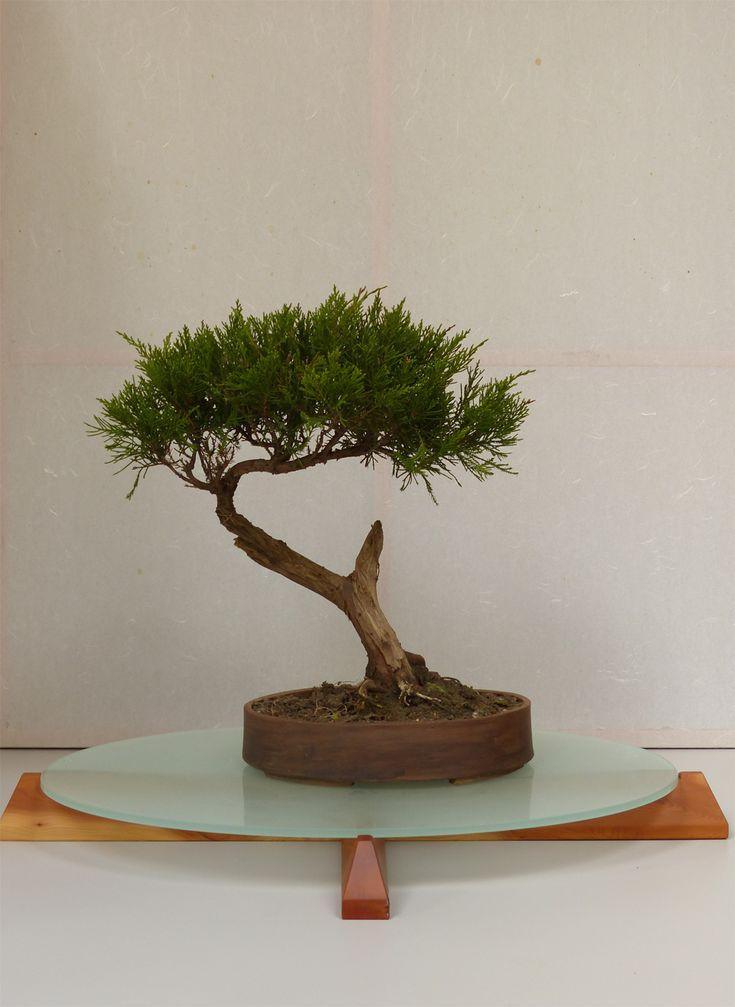 ovaler Bonsai -Tisch -- Eibe und satiniertes Glas // Seeland