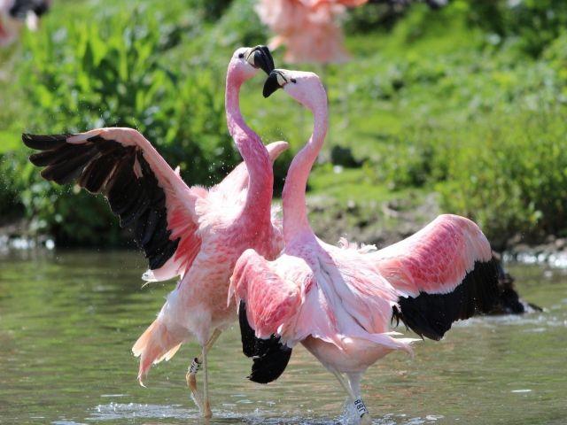Розовые фламинго танцуют