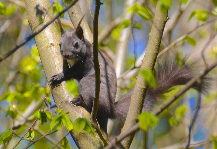 Red squirrel, black variety, Holluf Pile, Odense, Denmark. #RedSquirrel #RødtEgern #HollufPile #HenryRasmussen