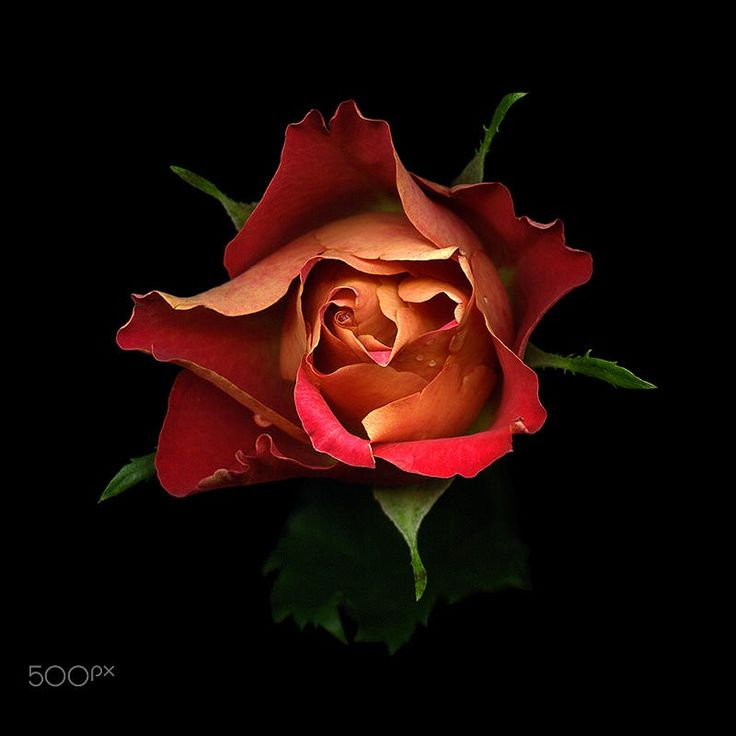 YOU ARE 'MY STAR', A ROSE... by Magda Indigo on 500px