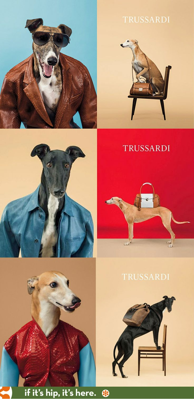 William Wegman Trades In His Weimaraners For Greyhounds In Trussardi's Spring Ad Campaign. #dogs #greyhounds #trussardi